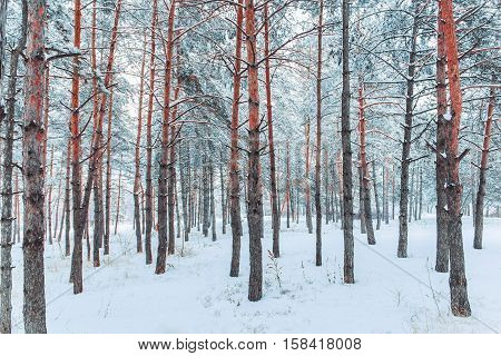 Frosty winter landscape in snowy forest. Pine branches covered with snow in cold weather. Christmas background with fir trees and blurred background