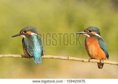 Kingfisher couple perched on a branch in its natural habitat