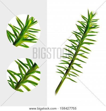 Huperzine plant on white background. Chien Tseng Ta, Jin Bu Buan, Qian Ceng Ta, She Zu Cao, Shi Song. Medicinal plant. Realistic vector illustration. Eps10.