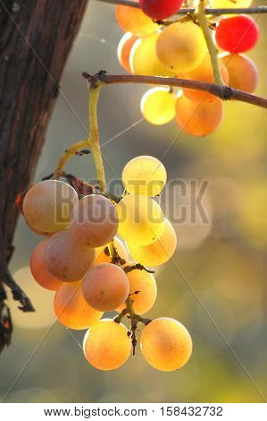Mellow cluster of grapes growing on vine. Grade Lydia.