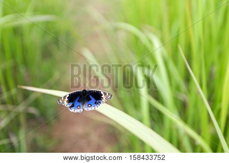 Butterfly Junonia Orithya on blade of grass, Thailand
