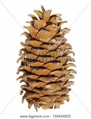 Cone of a Manchurian cedar (Korean pine). Ripe resinous cone.