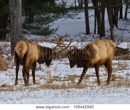 Elk sparring in northern Pennsylvania on a snowy day