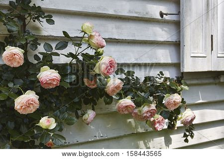 Roses in a country garden in the Southern Highlands of NSW