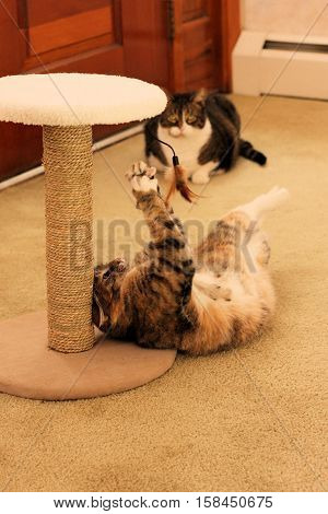 Older cat playing with a feather toy attached to a scratch post.