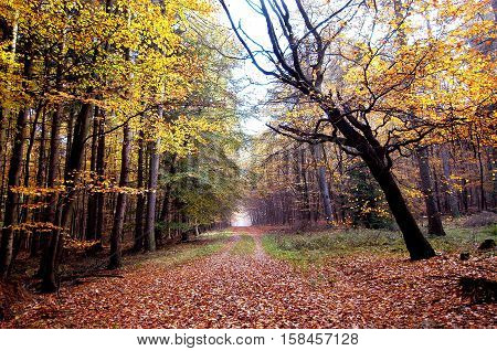 Golden Autumn forest looks like Indian Summer in Germany