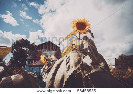 Wide angle shot of large immature sunflower surrounded by the garden beds with country house in backgroung country cottage area cloudy summer or autumn day