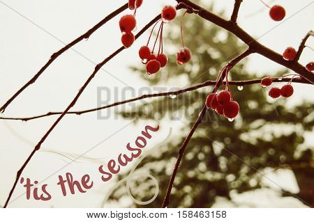 'Tis the season Christmas card with words written on fresh winter berry winter nature background with Christmas fir tree on a snowy day. Community, Postcard, greeting card or holiday message text with copy space