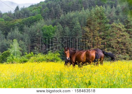 Domestic horses in the yellow green fileds