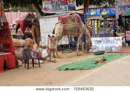 PUSHKAR, INDIA - FEBRUARY 17: Camel resting while waiting tourist in the Great Indian Thar Desert near Pushkar, Rajasthan, India on February 17, 2016.