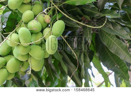 Mango bunch Select focus with shallow depth of field with copy space