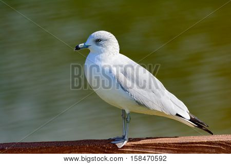Ring-billed Gull Larus delawarensis Looking left standing on a fence green water in background