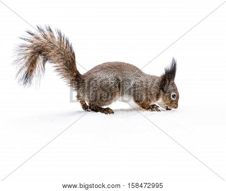 Grey Squirrel With Fluffy Tail On Snowy Ground Eating Nut
