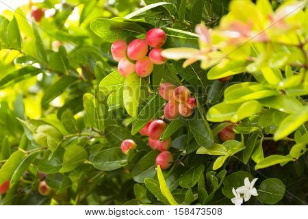 Karanda tree or Carunda or  christ's thorn fruit for health and herb.Zoom in.17