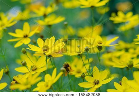 Wild yellow chamomile flowers on a field on a sunny day. shallow depth of field