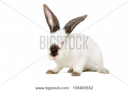 Portrait of a white albino rabbit sitting isolated on white background