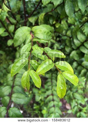 fresh green wrightia religiosa leaves in nature garden