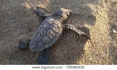 newborn turtle Caretta on the way to the sea