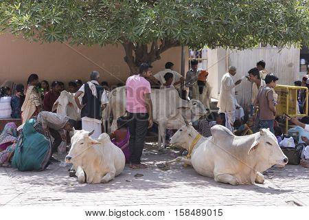 Mathura, India - October 13, 2016: People sitting around holy cows under shade and waiting outside Shri Krishna Janam Bhumi in Mathura, India.