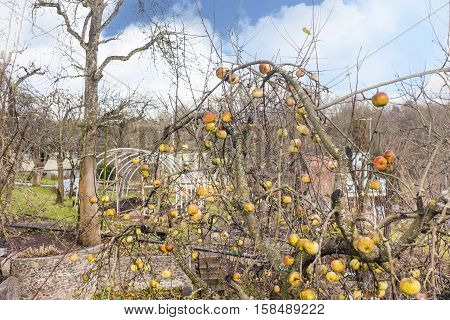 Apple tree with colorful apples in late autumn in vintage photography style