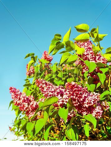 lilac bush in the early spring on a sunny day, bright purple and pink, a few bunches in full bloom, against a background of blue sky, beautiful photo, processed, preset, nostalgia, unnatural colors ,