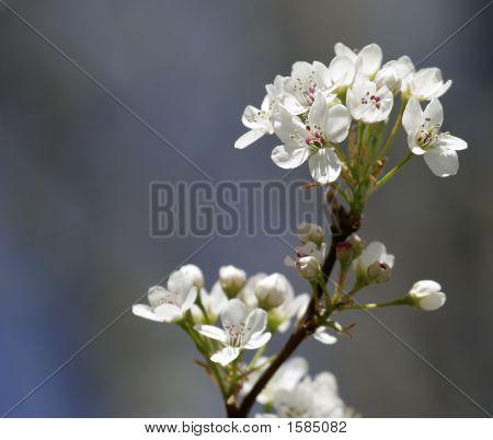 Pear Tree Blossom (Pyrus)
