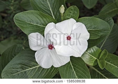 Madagscar periwinkle (Catharanthus roseus). Called Rosy periwinkle and Vinca also