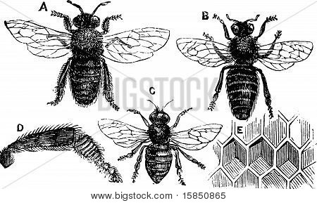 Male, Female And Neutral Bee With Leg Close-up And Honeycomb