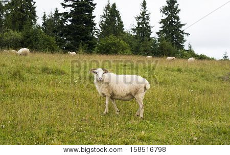 White sheep in the meadow in the Carpathians.