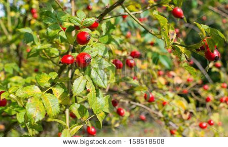Red rose hips on the dog rose bush in a sunny day.