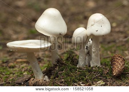 strongly poisonous toadstool (Amanita virosa) in forest