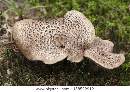 brown edible mushrooms (Sarcodon imbricatus) in forest