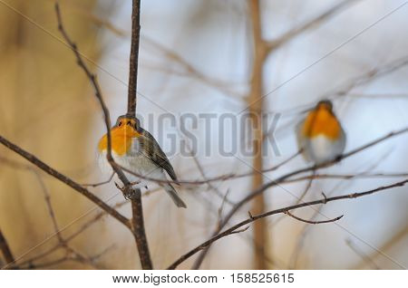 Two perching European Robins (Erithacus rubecula) in winter. Moscow Russia