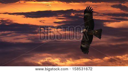 Flying Black kite (Milvus migrans) against sunset sky Kazakhstan