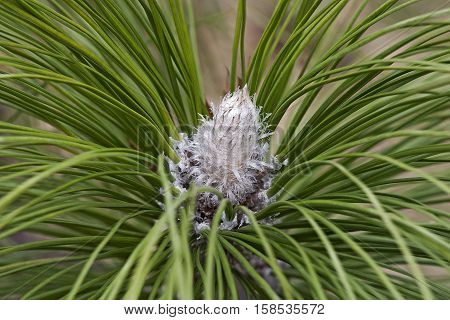 Longleaf pine winter bud (Pinus palustris). Called Southern Yellow Pine also