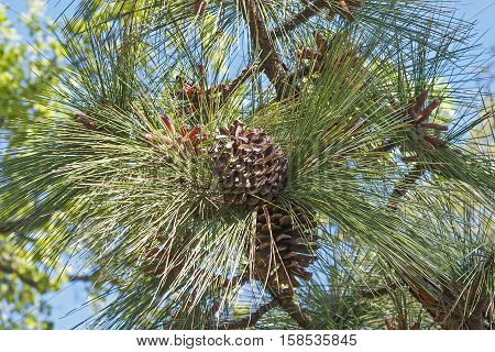 Longleaf pine cones (Pinus palustris). Called Southern Yellow Pine also
