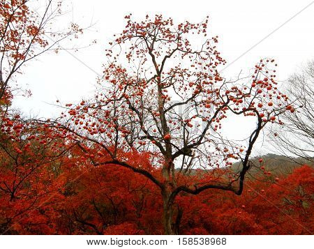 Beautiful Fruitful tree and red fall foliage at the mountainside of South Korea