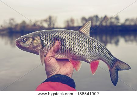 Chub in fisherman's hand, autumn catch, toned image