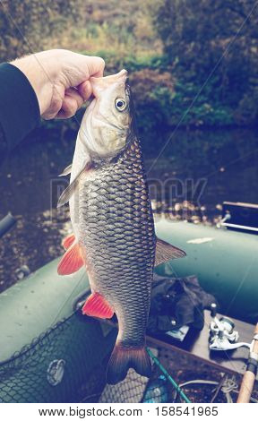 Really big chub in fisherman's hand, autumn, toned