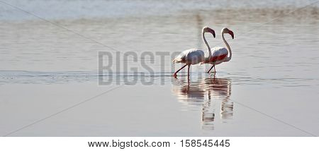 Close up of a lesser Flamingos in the water