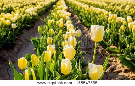 Cream and yellow colored blooming tulips in the field of a Dutch bulb grower early on a sunny morning in the spring season. One tulip stands in length far out above the rest.
