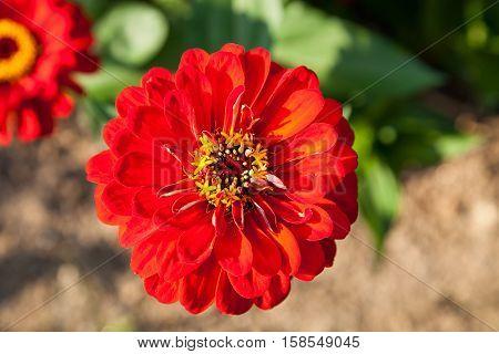 Zinnia flower. Beautiful Zinnia flower in full bloom.