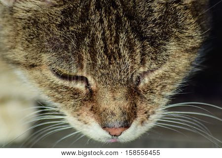 The Muzzle Of The Old Striped Cat. Old Age House Cats