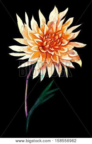 Single freehand painted pink dahlia flower watercolor picture isolated on black backgrouns