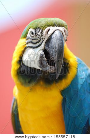 Pretty Bolivian blue-and-gold macaw bird on a perch.