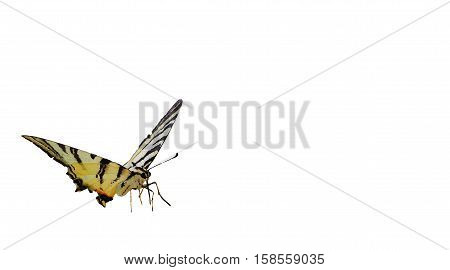 beautiful happy and colorfull butterfly with white background