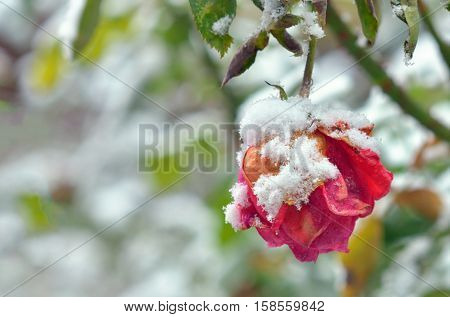 The Rose With Frost in the frozen morning
