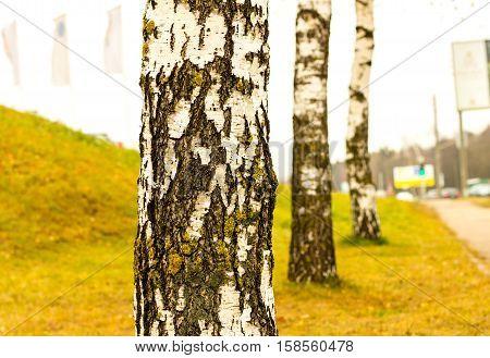 Birch trees in the city. Birch autumn Birch-tree