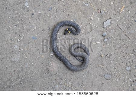 The Dead Snake. The Dead, Crushed By The Machine Grass Snake. Non-poisonous Snake