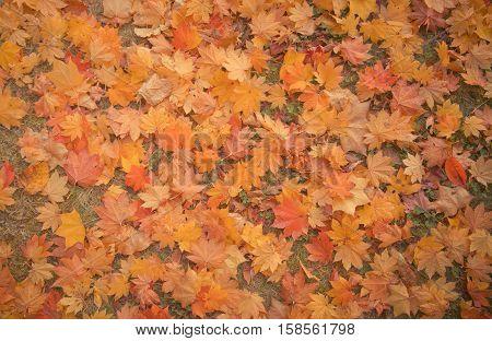 Maple Background Autumn Season at Fukushima , Japan